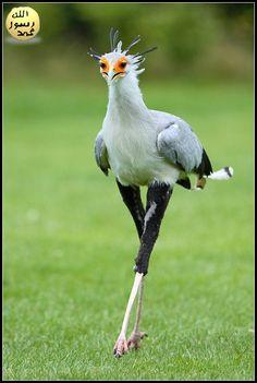 Veľký biele prsia veľký čierne vtáky