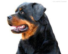 rottweiler | Beautiful Rottweiler - Rottweiler Wallpaper (13379005) - Fanpop ...