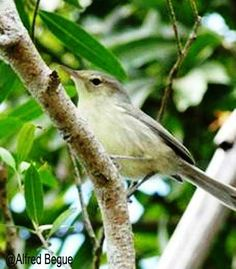 Welcome to the Mauritian Wildlife Foundation (MWF) - In The Field - Rodrigues - Rodrigues Warbler