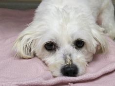 Professor Maltese & Spaniel Mix • Adult • Male • Small The Fuzzy Pet Foundation Santa Monica, CA