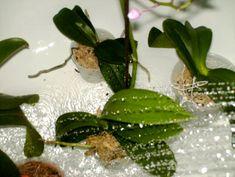Az öntözés a növények számára, magaát az életet jelenti. A téli időszakban azonban ritkábban kell öntözni a szobanövényeket. Az orchideát a téli hónapokban általában 10 naponként szokták öntözni. A legnagyobb hiba, amit a kezdő orchidea nevelők elkövetnek, hogy az orchideát cserepestől egy kis langyos vízbe állítják, hogy felszívja a szükséges vizet, majd nem hagyják, hogy...Olvasd tovább Indoor Plants, Neon, Gardening, Inside Plants, Lawn And Garden, Neon Colors, Horticulture, Neon Tetra