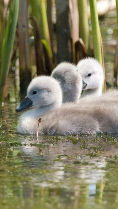 ♥♥♥ Baby Mute Swans