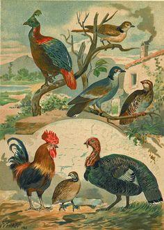 1883 Gallinaceous Birds Antique Color