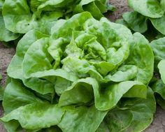 1,000+ Buttercrunch Heirloom Lettuce Seeds- 2015 Seeds Oh...…