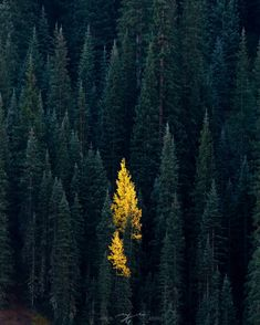 """Solitude"" - San Juan National Forest, outside of Silverton, CO this morning - Nature/Landscape Pictures Tumblr Photography, Nature Photography, Travel Photography, In Natura, Fantasy Forest, Through The Looking Glass, National Forest, Solitude, Nature Pictures"