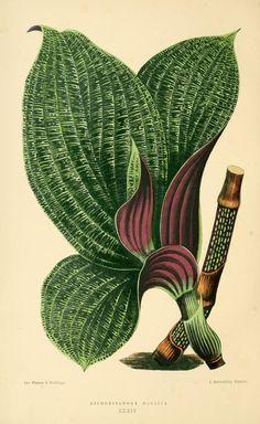 Dichorisandra mosaica. Les plantes a feuillage coloré v.2 Paris: Rothschild, 1867-1870.  Biodiversitylibrary.