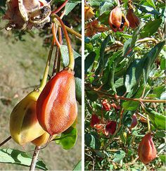 Crinodendron patagua, pods