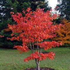 Japansk lönn, acer palmatum osakazuki (röd på vintern)