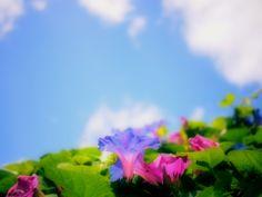 アサガオの投稿写真。タイトルは夏の名残と秋の風