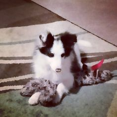 Sheltie puppy with her toy