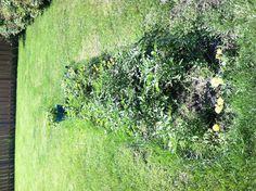 Tomato & herb garden update  6-13-13.