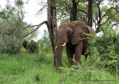 Of Elephants and Alcohol Elephant Eating, Getting Drunk, Folklore, Elephants, Continue Reading, Alcohol, African, Posts, Fruit