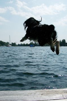 My Spring Spaniel doing what he loves most - jumping off the dock after a thrown stick...