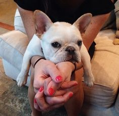 Spoiled and Loved French Bulldog Puppy.