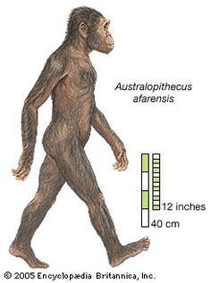Fue un Australopithecus descubierto en 1965 al norte de Kenia, este prehomínido tenía un cráneo y dientes más parecidos a los póngidos que a los humanos, pero sus huesos largos lo sitúan junto a los humanos y hacen pensar que eran de andar bípedo.