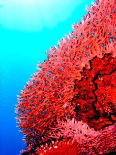 My grandfather learned to find coral reefs when he was young and out in the ocean by dropping bars of soap tied to long rope overboard. When pulled up, if there was coral, there would be lovely designs on the soap. Red Coral, Coral Color, Coral Turquoise, Pink, Turquesa E Coral, Coral Reefs, Fauna Marina, Illustration Photo, Live Coral