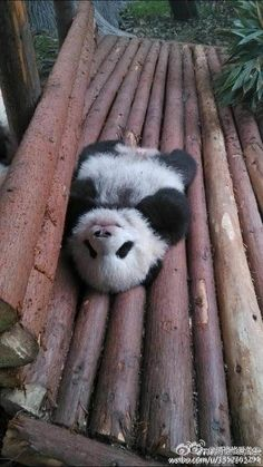 Tiny Panda, Panda Love, Cute Panda, Animals And Pets, Funny Animals, Worlds Cutest Animals, Panda's Dream, Baby Animal Videos, Animal Antics