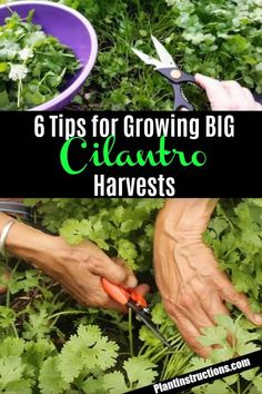 There are many benefits to using raised vegetable garden beds in your garden. For starters, elevated garden beds are easier on your back and knees because they require less bending, kneeling and crawling than . How To Harvest Cilantro, Cilantro Plant, Cilantro Growing, How To Grow Cilantro, Herb Garden Design, Diy Herb Garden, Garden Guide, Garden Ideas, Potted Garden
