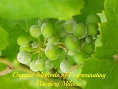 Powdery mildew, while not usually a fatal plant disease, will severely affect a garden plant's vitality. There ARE organic ways to kill powdery mildew which are safe and effective.