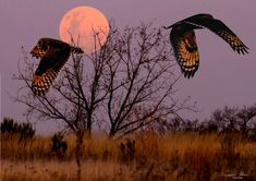 The Marsh Owls do a ceremonial fly by when they come across each other while hunting in the field Full Moon Rising, Moon Rise, Owls, Fields, Hunting, Celestial, Outdoor, Beautiful, Outdoors