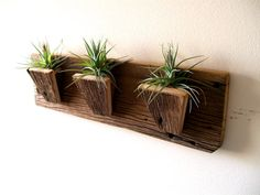 Gray stained barn wood with coral white branch air plant for Air plant holder ideas