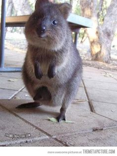 Mother and baby Quokkas… WHAT THE HECK???