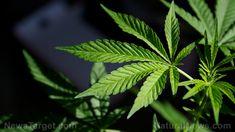 Marijuana for your memory? Study suggests wonder drug can reverse memory loss in older people – NaturalNews.com