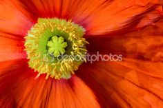#Poppy #Blossom #Closeup @depositphotos #depositphotos #nature #macro #flowerpower #flower #season #spring #red #yellow #macro #details #stock #photo #portfolio #download #hires #royaltyfree