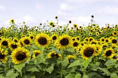"""""""I want to be like a sunflower; so that even on the darkest days I will stand tall and find the sunlight."""" ~Unknown Easy To Grow Flowers, Large Flowers, Fresh Flowers, Beautiful Flowers, Giant Sunflower, Sunflower Seeds, Growing Sunflowers, Succession Planting, American Giant"""