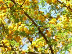 Acacia mimosa tambien conocido como huizache o espino for Arboles de hoja perenne para clima frio
