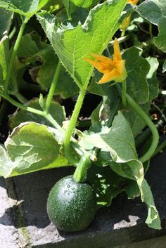Gem Squash - S african, strongly vining plant, softball sized fruits with green skin and yellow interiors. Pick early and roast. Gem Squash, Squash Plant, Green Veggies, Vegetables, African Love, Pumpkin Squash, Yellow Interior, Squashes, Botany