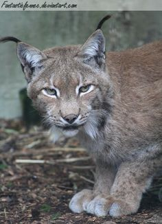 The largest online art gallery and community Eurasian Lynx, Online Art Gallery, Panther, Community, Artist, Animals, Animales, Animaux, Artists