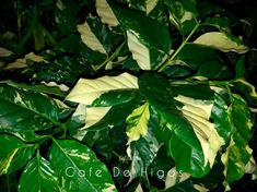 Tropical and Variegated Plants by Cafe De Higos. Variegated Plants, Coffee Plant, Fiddle Leaf, Plant Leaves, Tropical, Patio, Green, Instagram, Figs