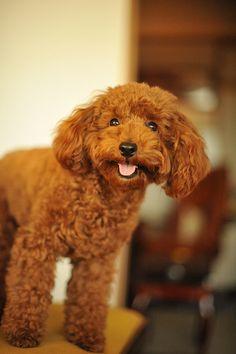Dark red toy poodle. Cutie pie!