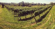 #cimatura 2016. #valcalepio #wineyard #vigneto #chardonnay #campagna #countryside #landscape #paesaggio