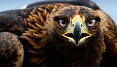 rêve aigle royale