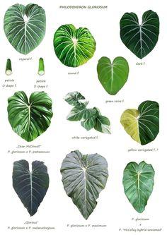 Inside Plants, Cool Plants, Rare Plants, Exotic Plants, Plant Identification, Best Indoor Plants, Variegated Plants, Ornamental Plants, Plant Illustration