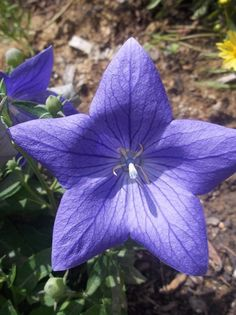 blue_star_flower_by_larxenethemadone-d3jzejj
