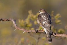 Northern Sparrowhawk