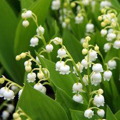 LILJEKONVALL Vitenskapelig navn: Convallaria majalis