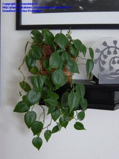 Heart Leaf Philodendron (Philodendron hederaceum var. oxycardium)
