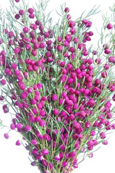 Domus Nursery specialises in growing a range of exotic and native plants that thrive in Western Australia's harsh climate Australian Plants, Native Plants, Western Australia, Plum, Garden Ideas, Exotic, Nursery, Yard, Patio