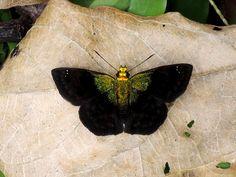 https://flic.kr/p/e6iNs7 | Green-shouldered Sootywing (Gorgopas trochilus) | Found in the Peruvian Amazon.