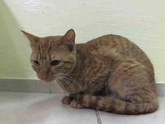 TO BE DESTROYED 5/23/14 ** Friendly Simba is a sweetie looking for a home tonight and he needs our help!! Simba interacts with the Assessor, solicits attention, is easy to handle and tolerates all petting. ** Manhattan Center  My name is SIMBA. My Animal ID # is A0999299. I am a male org tabby domestic sh mix. The shelter thinks I am about 2 YEARS  I came in the shelter as a STRAY on 05/09/2014 from NY 10454