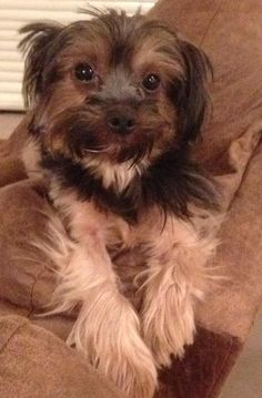 SAM is an adoptable Yorkshire Terrier Yorkie searching for a forever family near Marion, IN. Use Petfinder to find adoptable pets in your area.