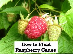 How to Plant Raspberries/Raspberry Canes