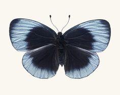 He encontrado este interesante anuncio de Etsy en https://www.etsy.com/es/listing/112284820/butterfly-art-nature-photography-dusk