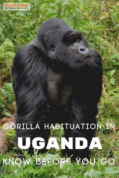 Gorilla Habituation is a new experience in Uganda that allows you to spend more time getting up close to gorillas in their natural habitat than would be allowed if you were to join a traditional gorilla trekking safari. | Blog by Travel Dudes: Community for Travelers, by Travelers!