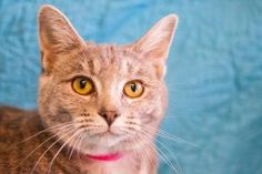 Julie is a sweet, gentle cat with a super-soft dilute tortoiseshell coat and a face you can't resist! She's only 8 months old (3/11) and is a great gal we think will be a real cuddle bunny.