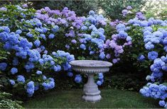 bird bath and hydrangea